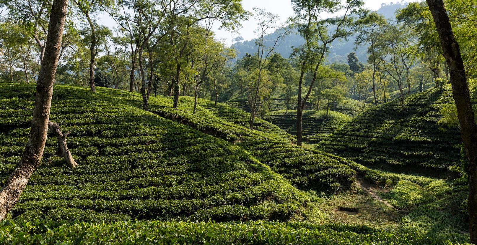 AVANTCHA | Golden Assam Mangalam